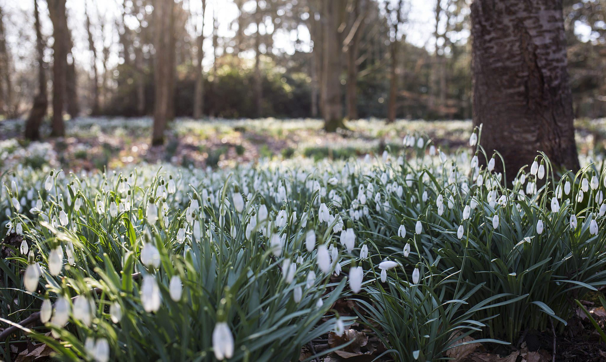 Snowdrops, Lancashire photographer
