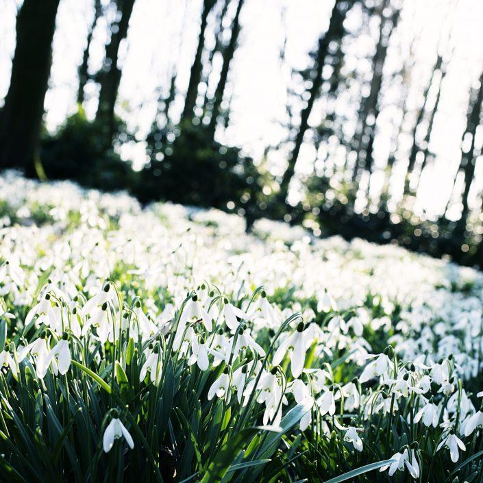 Snowdrops, Lancashire